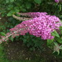 Buddleja davidii 'Pink delight' (Buddleja davidii (Butterfly bush))