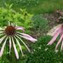 Echinacea_pallida