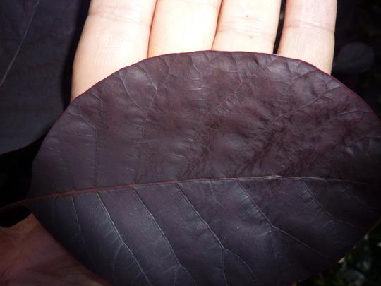 Huge Cotinus leaves
