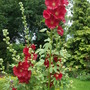 Hollyhock alcea rosea old barnyard 'Red' still standing no matter the weather. (Hollyhock alcea rosea old barnyard Red)