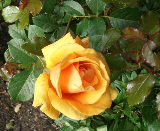 Rose 'Simply the Best' hybrid tea burnt-mandarin (Rose Simply the Best)