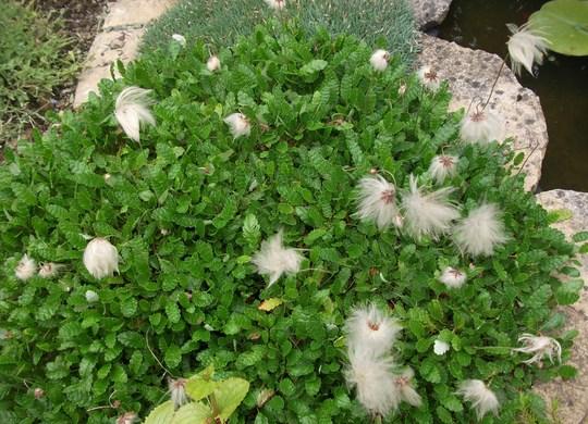 Dryas octopetala seed heads (Dryas octopetala (Mountain avens))