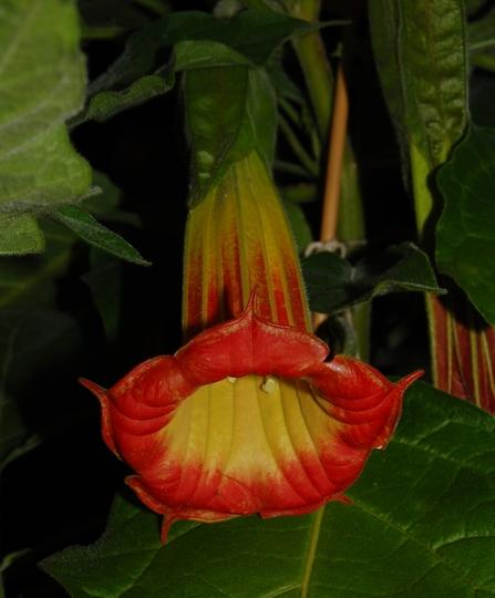 Brugmansia sanguinea (Brugmansia sanguinea)