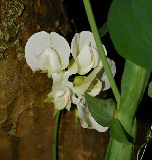 Perennial Sweet Pea (Lathyrus latifolius (Everlasting pea))