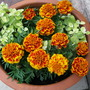 More French Marigolds...