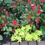 'Little' Red Robin Photinia with Golden Oregano....