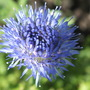 Jasione Perennis 'Blue Light' (jasione)