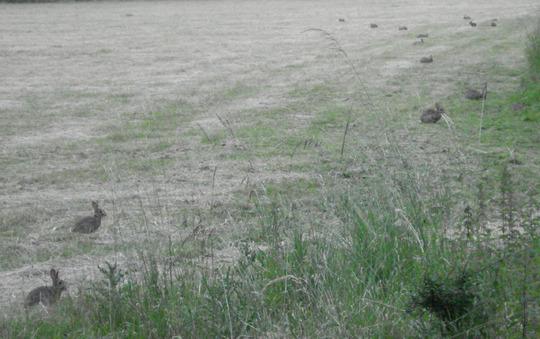 Bunnies attack my village