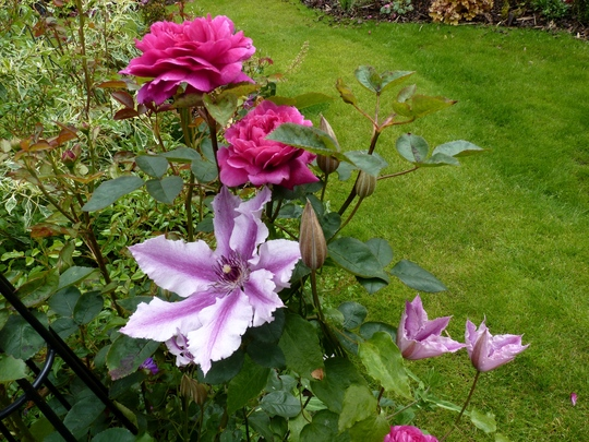 Rosa 'Noble Anthony' with Clematis 'Ooh La La'