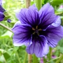 Blue Malva (Malva sylvestris (Algiermalve))