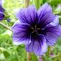 Blue Malva (Malva sylvestris (Algiermalve))