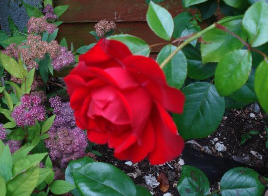 Rose Dublin Bay
