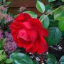 Rose_dublin_bay