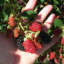Blackberries, They Are A-Ripening