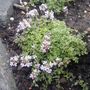 Thymus serpyllum Highland Cream (Thymus serpyllum)