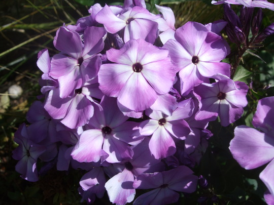Phlox paniculata 'Magic Blue' (Phlox paniculata)