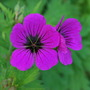 Hardy Geranium Psilostemon... (Geranium psilostemon (Armenian cranesbill))