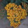 Achillea Terracotta. (Achillea millefolium (Yarrow) Terracotta)