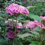 Hydrangea and Mallow.... (Hydrangea arborescens (Hydrangea))