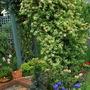 Lonicera japonica (Japanese Honeysuckle) Mint Crisp