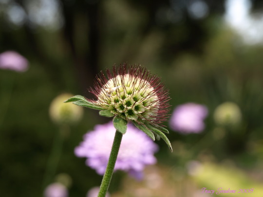Scabius seed head
