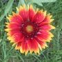 gaillardia -mystery plant finally identified!