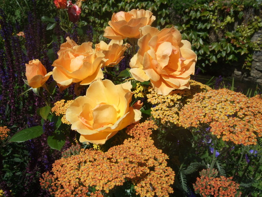 Achillea and roses (Achillea)