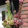 Hanging Basket houseleeks (Sempervirum Tectorum)