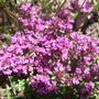 Thymus_praecox_red_carpet_