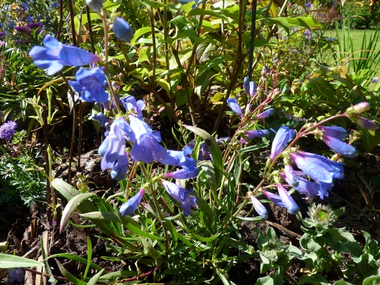Penstemon 'Blue Springs' (Penstemon heterophyllus (Penstemon))