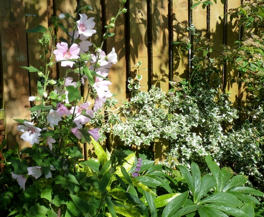 Lavatera 'Barnsley' (Lavatera x clementii (Tree mallow))