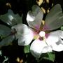 Lavatera 'Blushing Bride' (Lavatera x clementii (Tree mallow))