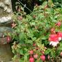 Lancashire Lad Fuchsia.