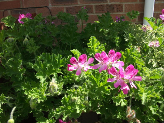 Geranium 'Pink Capitatum' (scented) Pink Capitatum has a fruity scent and lovely bright pink flowers. (Geranium pink Capitatum scented)