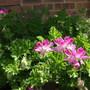 Scented_geranium_pink_capitatum