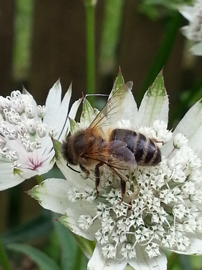 Honey bee on Astrantia 'Snow Star'