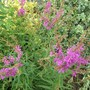 Lythrum salicaria Purple Loosestrife (Lythrum salicaria (Purple Loosestrife))