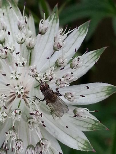 Hoverfly on Astrantia 'Snow Star'