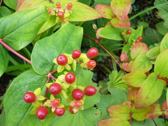 Hypericum berries (Hypericum androsaenum)