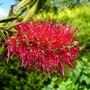 Bottlebrush (Callistemon citrinus (Bottle brush))