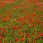 Poppy_field
