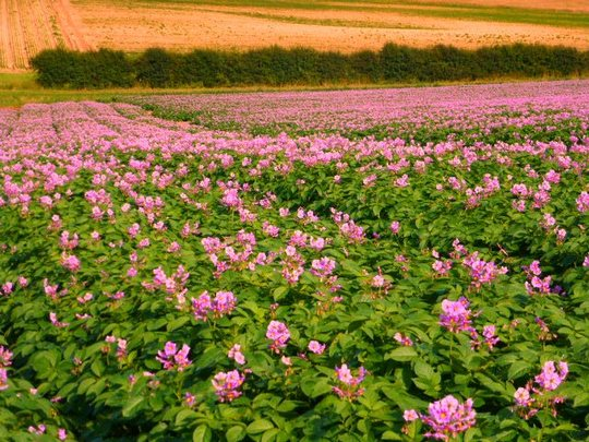 Potato field in flower