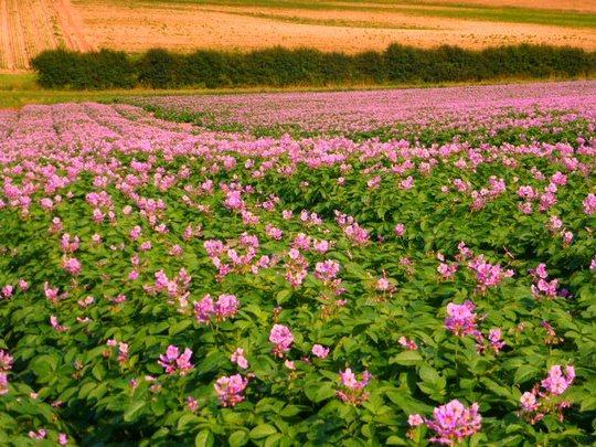 Potato field in flower : Grows on You
