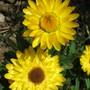 Golden Beauty (Helichrysum arenarium)