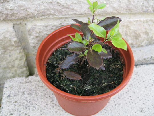 'Baby' Pittosporum..