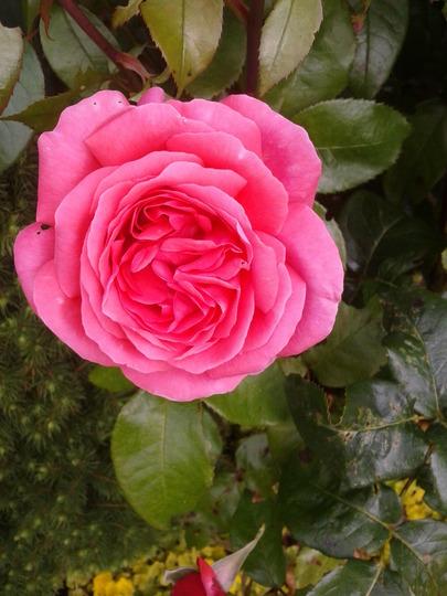 floibunda rose in my garden