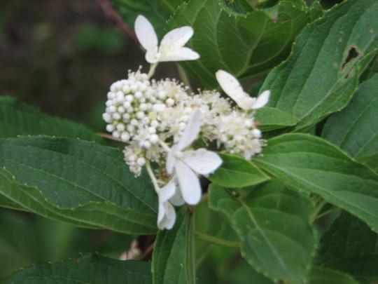 "Hortensia paniculata Great Star ""Le Vasterival""."
