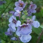 Diascia_blue_denim_