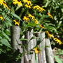 Black-eyed Susan through Wood Fence