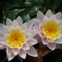 My pink water lilies